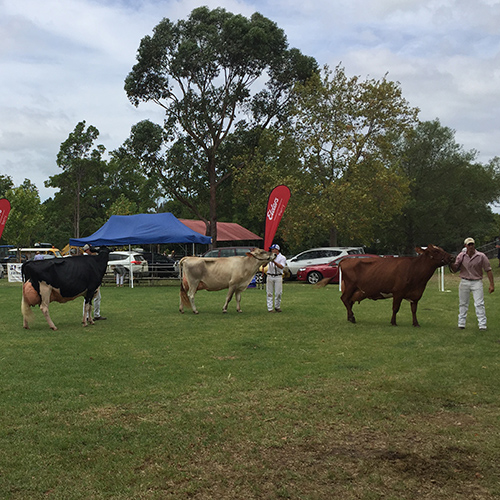 Dairy Cattle Competitor Information | Berry Show